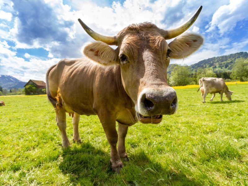 Krowa, źródło Pexels