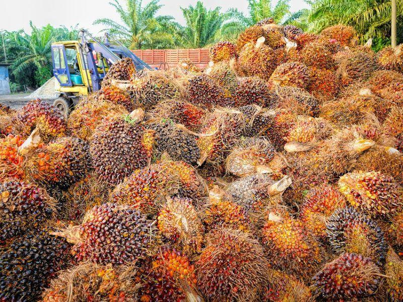 Owoce palmy oleistej, źródło Flickr