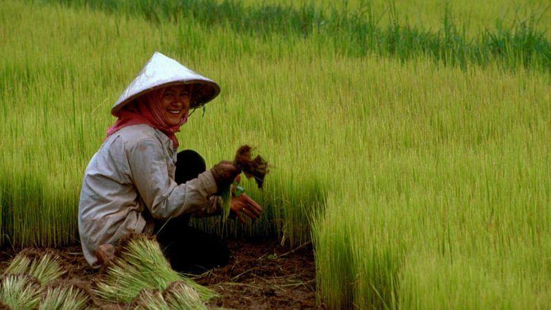 Pole ryżowe w Kambodży, źródło Wikipedia