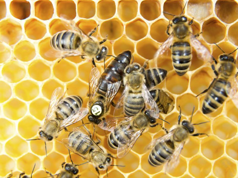 Pszczoły miodne (w środku, większa królowa), źródło: Flickr/US Department of Agriculture