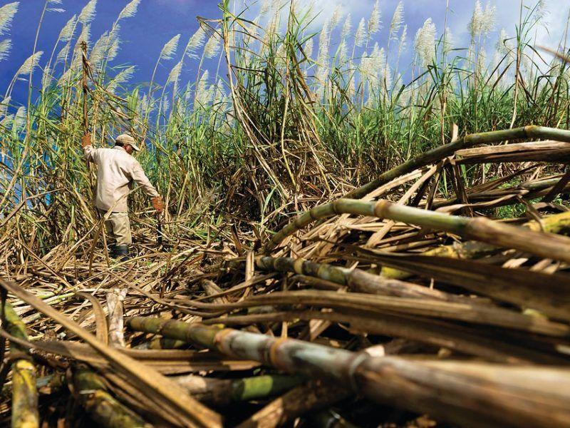 Plantacja trzciny cukrowej, źródło: MaxPixel