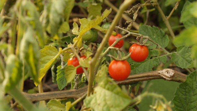 Pomidory, źródło: Pixabay/FerGalindo980