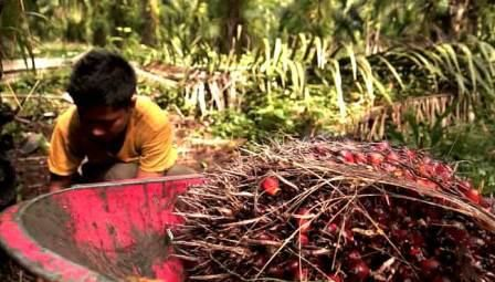 Indonezja i Malezja są najważniejszymi na świecie producentami oleju palmowego, odpowiadając za ok. 85 proc. światowej produkcji. Źródło: The National Documentation Center for Childhood