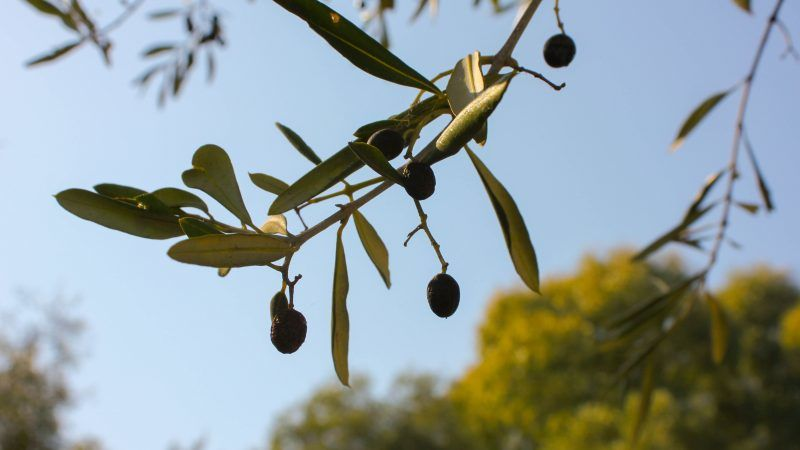 Olive tree, photo by Fiona Pearse on Unsplash