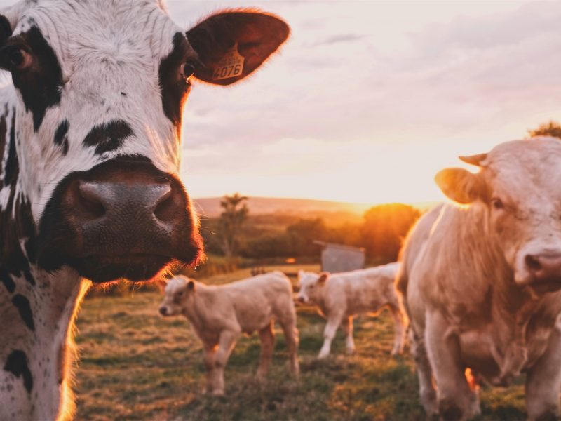 Krowy, fot: Stijn te Strake / Unsplash