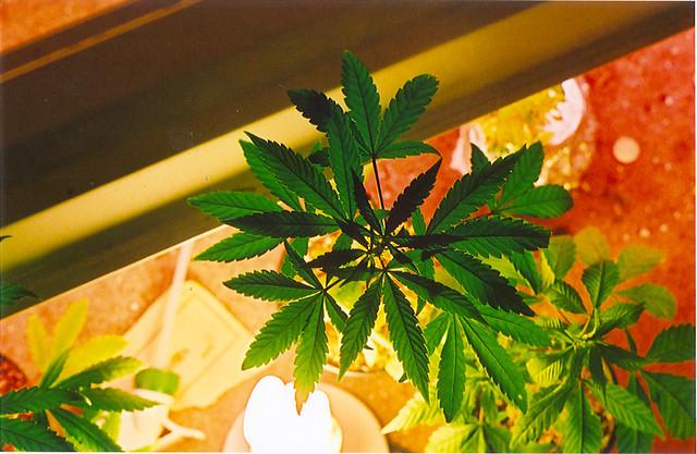 Hodowla marihuany