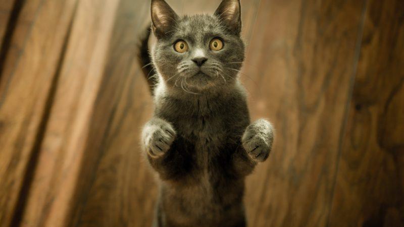 Domowe koty mogą sięzakażać koronawirusem (Photo by Marko Blažević on Unsplash)