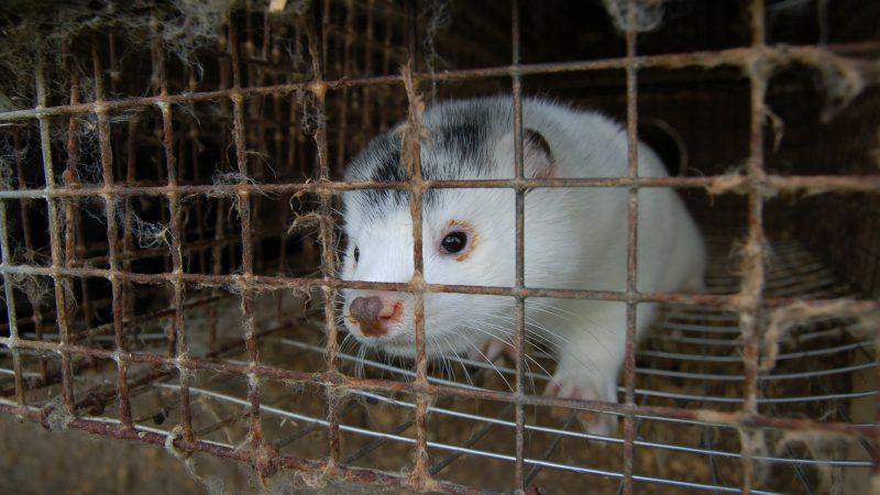 Ferma norek w Danii (źródło: Flickr/Nettverk for dyrs frihet (Network for Animal Freedom/CC BY-NC-SA 2.0)
