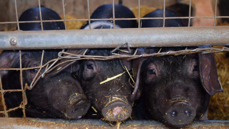 Nowy wirus grypy powstał na świńskich fermach w Chinach (Photo by Suzanne Tucker on Unsplash)