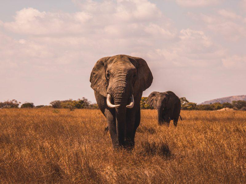 Nie wiadomo co jest przyczynąmasowego wymierania słoni w Botswanie (Photo by AJ Robbie on Unsplash)