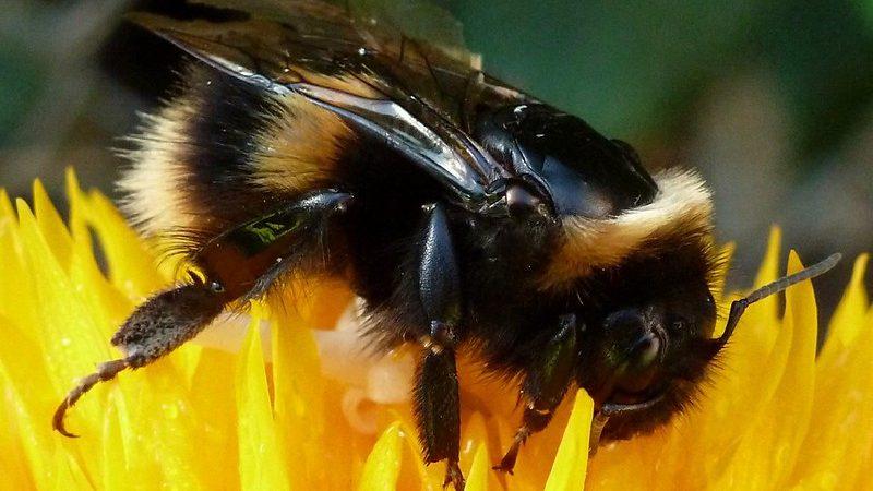 Z raportu Europejskiego Trybunału Obrachunkowego wynika, że działania Komisji Europejskiej w sprawie spadków populacji dzikich pszczół są nieskuteczne.
