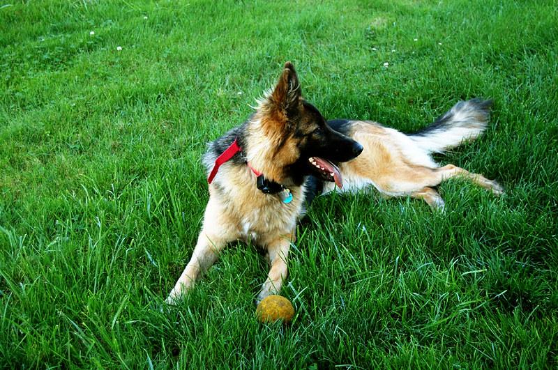 Nowe niemieckie prawo ma poprawić dobrobyt psów i innych zwierząt hodowlanych.