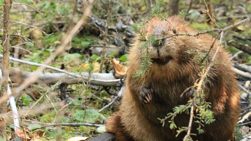 Nie wiadomo jak bobry wróciły do Anglii, wiadomo, że sobie świetnie poradziły, a środowisko na tym skorzystało (źródło: pxfuel, CC0 Public Domain)
