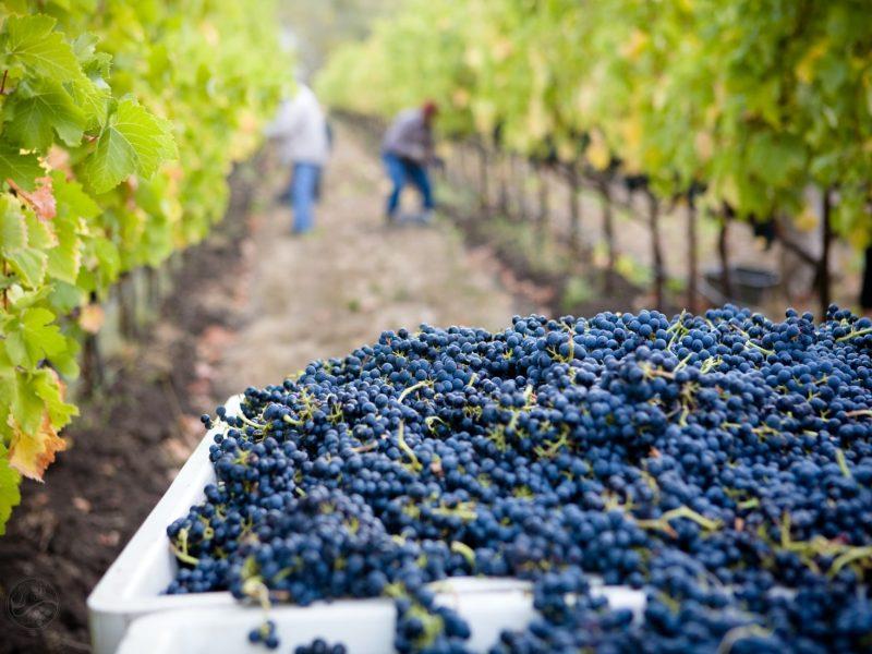 Zbiór winogron, winiarnia Lasseter [Unsplash]