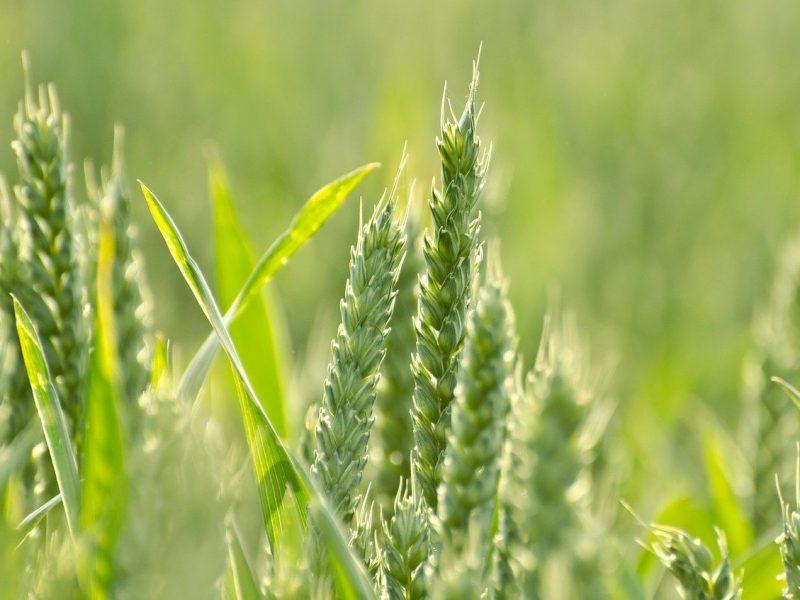 Zboze, rolnictwo, Unia Europejska, WPR, klimat Zielony Ład