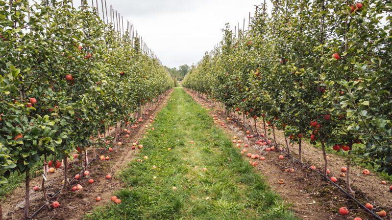 sad, jabłka