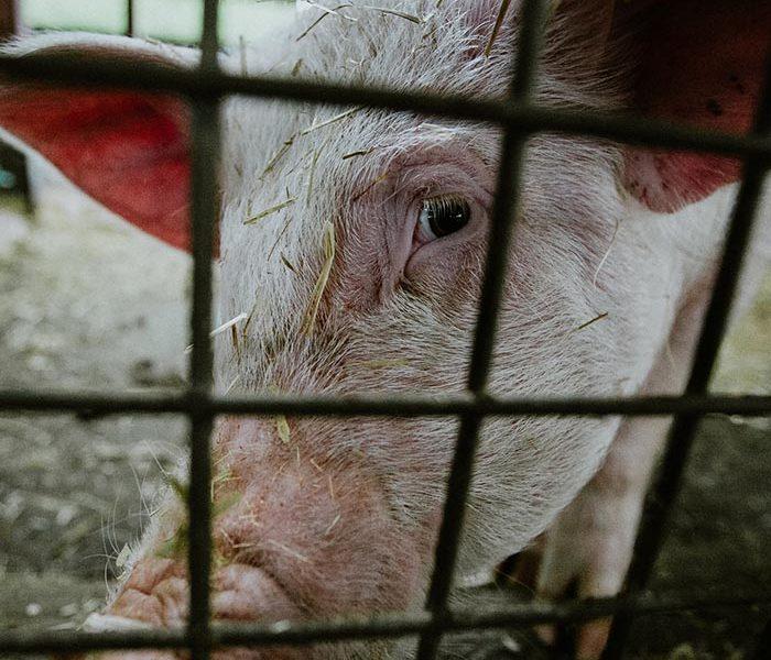 rolnictwo, Parlament Europejski, end of the cage, zwierzęta, europejska inicjatywa obywatelska, koniec epoki klatkowej, unia europejska,