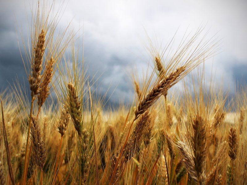 zboże, pszenica, rolnictwo