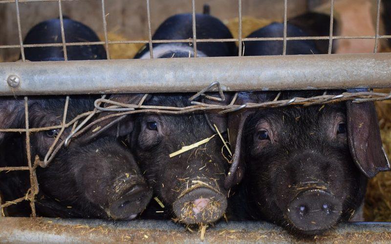 chów klatkowy, Parlament Europejski, komisja europejska, End the Cage Age, zwierzęta, rolnictwo, dobrostan zwierząt