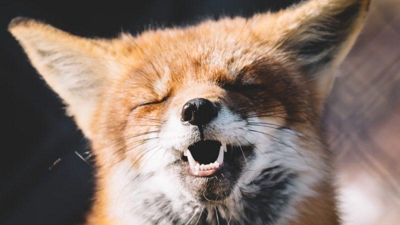 Estonia, Polska, zwierzęta futerkowe, norki, lisy, Kaczynski, piątka dla zwierząt, środowisko, prawa zwierząt,przemysł futrzarski