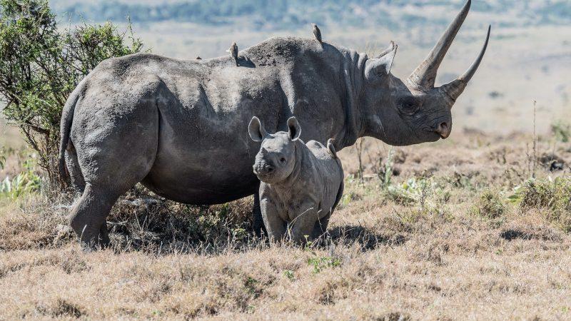 Nosorożce czarne