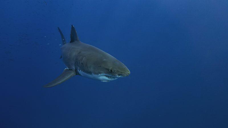 WWF: UE odpowiada za prawie jedną czwartą światowego handlu mięsem rekinów
