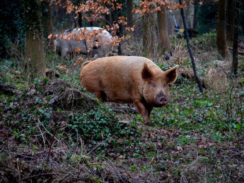 Dzikie świnie