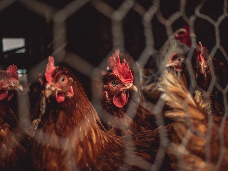 End the Cage Age, koniec ery klatkowej, chów klatkowy, zwierzęta gospodarskie, inicjatywa obywatelska, Parlament Europejski
