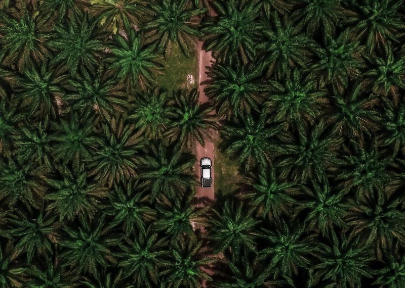 Plantacja palm oleistych (Photo by Nazarizal Mohammad on Unsplash)